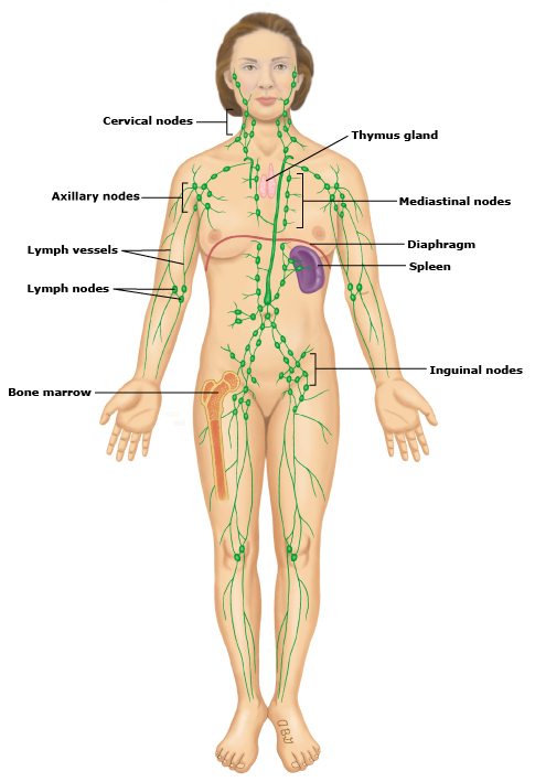 Beautiful Female Lymphatic System Ornament - Anatomy And Physiology ...